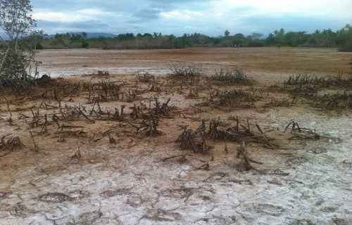 Dredged sediments from the Ba river have destroyed some mangroves in Nawaqarua